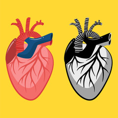Human heart views. Vector illustration isolated on background