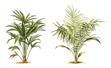 Plant - Chamaerops excelsa (left) - Phoenix reclinata - Senegal Date Palm (right) - Vintage illustration