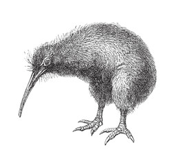North Island Brown Kiwi (Apteryx Mantelli) - vintage illustration