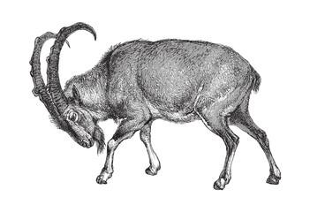 Wild goat (Capra Aegagrus) - vintage illustration