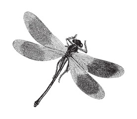 Damselfly - Dragonfly - vintage illustration
