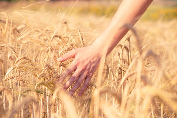 Photo of man's hand with rye spikelets