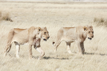 Lions, panthera leo, walking through grassland.