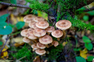 mushrooms honey agarics in a forest on a tree
