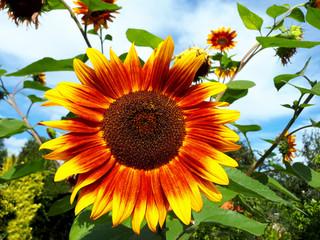 Sonnenblume im Garten - Es wird herbstlich, Herbst, Herbstanfang, Herbstanfang