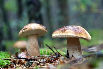 three boletus mushroom and rain