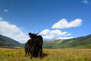 yak on the mountains