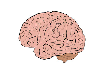 Vector illustration of a human brain on a white background