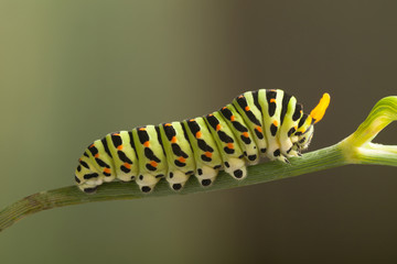 green caterpillar machaon on dill