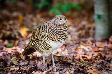 Quail. Common quail in the autumn forest