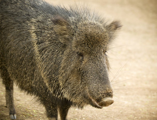 A Close Up Peccary, Also Called Javelina