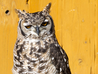 Spotted Eagle-owl, Bubo africanus, African Night Owl