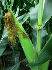Corn ear on a corn plant still in the field