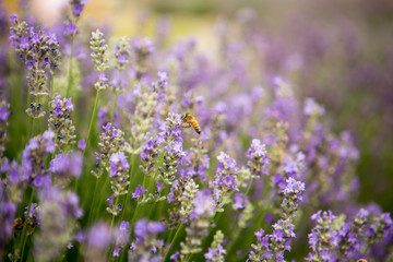 Lavender and Bees 4