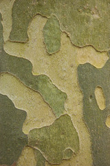 Green camouflage - sycamore bark background.