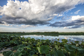 giant water lilies on the river in the foreground