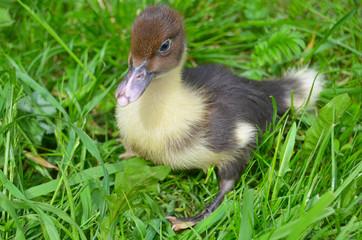 The little musk duck closeup