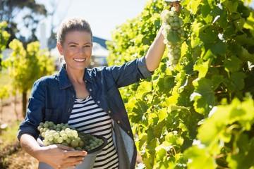 Portrait of happy vintner harvesting grapes in vineyard Wall mural