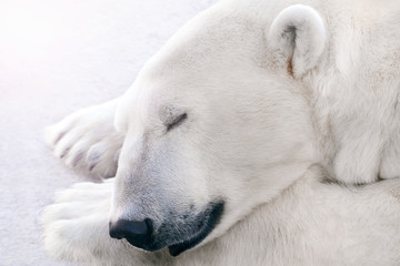 A polar bear sleeps on the ice.