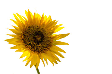 sun flower with light background