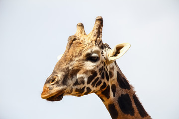 Giraffe (Giraffa camelopardalis) head and face within Cabarceno Natural Park, Cantabria, Spain