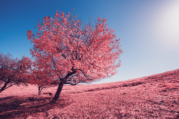 Wall Mural - Majestic alone birch tree on a hill slope with sunny beams at mountain valley. Infrared picture.