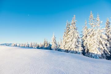 Majestic spruces glowing by sunlight. Location Carpathian, Ukraine, Europe.