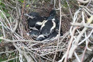 Pica pica. The nest of the Magpie