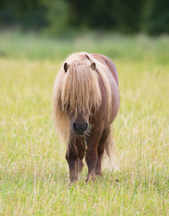A little pony horse with own haircut.