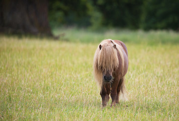 A lonely little pony horse on pasture.