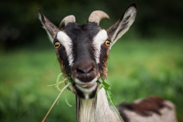 A funny portrait of a goat eating grass