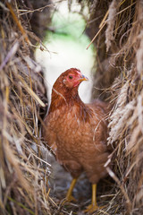 beautiful chicken pictures hidden in hay