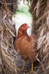 beautiful chicken pictures hidden in hay