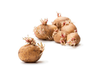 Old  potatoes with sprouts isolated on white