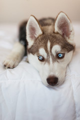 Husky Puppy Laying on Bed