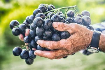 Grapes harvesting. Black or blue bunch grapes in hand old senior farmer Fototapete