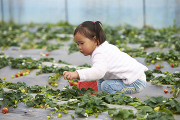 little asian girl picking strawberry