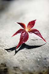 Red Virginia creeper flower on stone ground