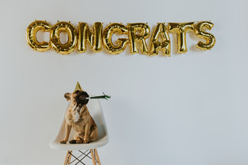 Gold Congrats Balloon Letters and a French Bulldog Puppy Wearing a Party Hat