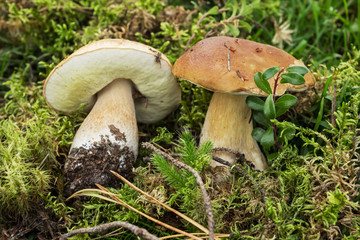 Two mushroom boletus on a laying from a moss