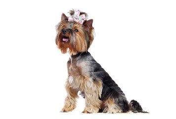 Side view full length portrait of a cute sitting Yorkshire Terrier in a white studio