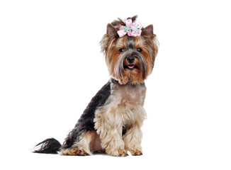 Sitting pretty Yorkshire Terrier  isolated over white background straight look into camera