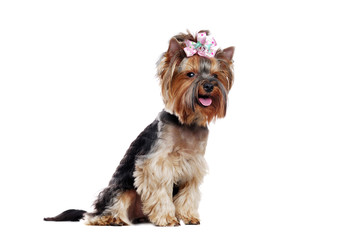 Sitting pretty Yorkshire Terrier side view over white background