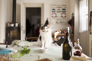 Siberian cat sits in front of her bowl on furnished kitchen table at lunch