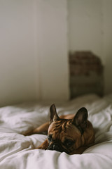 French Bulldog Laying on White Bed in Bedroom
