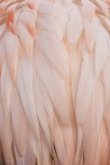 Pink feathers of a flamingo