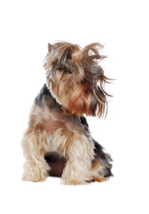 Sitting Yorkshire Terrier with a wild hair
