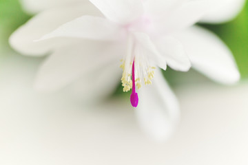 Extreme close-up of Christmas cactus (Schlumbergera) flower