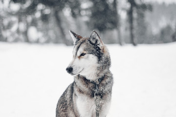 Husky in snow