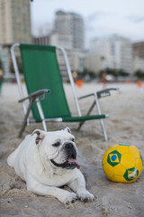 Cute Bulldog on a Brazilian beach